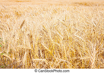 들판, 의, 황금, 밀, 손 가까이에 있는, 치고는, 수확