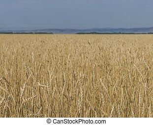 들판, 의, wheat.