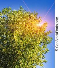 린덴, 나무