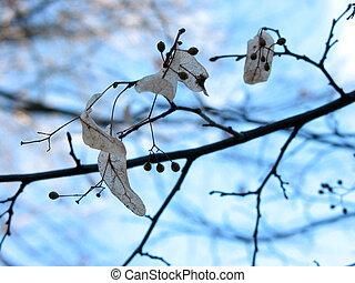 린덴, 나무, 에서, 겨울