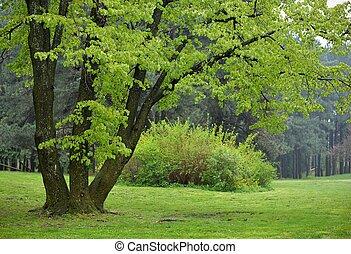 린덴, 나무, park에게서