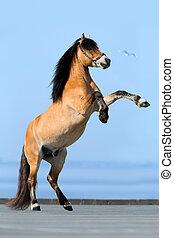 말, reared, 통하고 있는, 파랑, 배경.