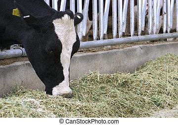먹다, 젖소