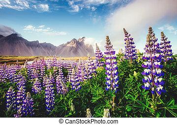 멋진, 보이는 상태, 의, lupine, flowers., 위치, 장소, stokksnes, 곶,...