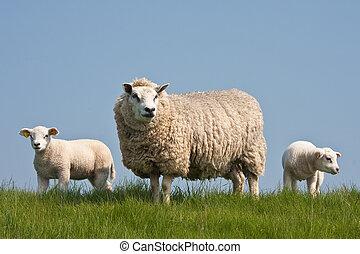 목초, sheep, 와, 그녀, 새끼 양, 에서, 봄