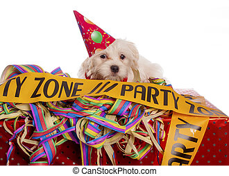 몰타 사람, 개, 와, 당 모자, 와, 백색 배경
