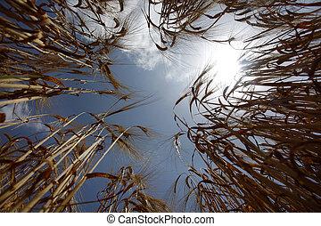 밀 들판, 농업, 자연, 목초지, 성장하는, 음식