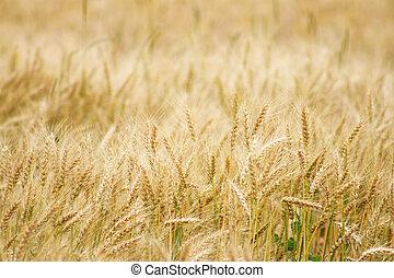 밀 들판, 수확