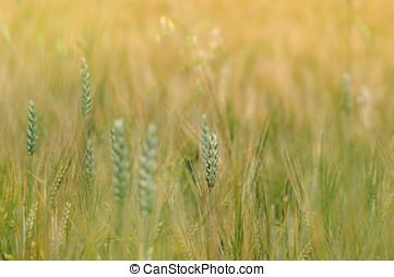 밀 들판, 클로우즈업, 배경