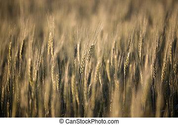 밀 들판, 클로우즈업