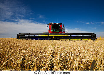 밀, 수확