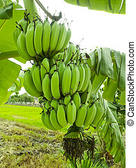 바나나, 다발, 통하고 있는, 나무, 정원의