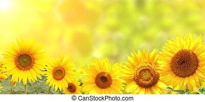 밝은, 해바라기, 통하고 있는, 노란 배경