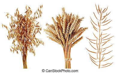 배경., 식물, 밀, 고립된, 귀리, 백색, 곡물, canola, 익은