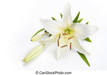 백합, 꽃, 고립된, 통하고 있는, a, 백색 배경