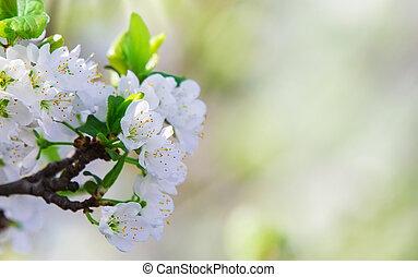 버찌, 꽃, 꽃