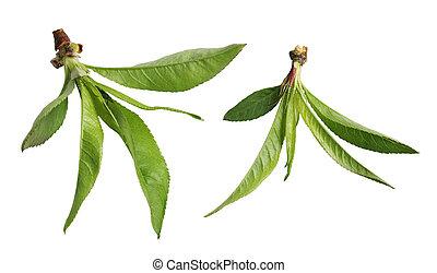버찌, 잎