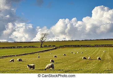 보이는 상태, 의, sheep, 에서, 그만큼, 영국 시골