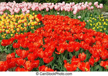 봄 꽃, 침대, 에서, keukenhof
