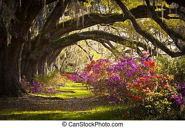 봄, 스페인어, 오크, 나무, 농원, 살고 있다, 진달래, 이끼, 꽃 같은, sc, 찰스턴, 꽃, 은...