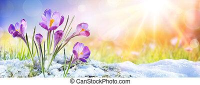 봄, -, 태양 광선, 성장, 크로커스, 눈, 꽃