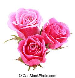 분홍색의 꽃, 꽃다발, 장미, 고립된, 배경, 백색, 차단