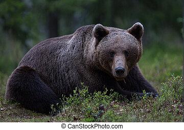 불곰, 에서, tiaga, 숲