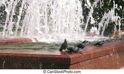 비둘기, 음료수, 에서, a, 샘