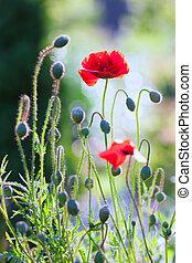 빨강, 양귀비, 에서, 여름, 정원의, 통하고 있는, a, 화창한 날