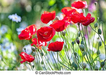 빨강, 양귀비, 에서, 여름, 정원