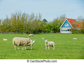 사람의 무리, 의, sheep