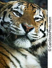 상세한 묘사, 의, a, tiger