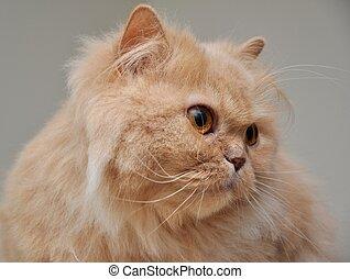 상세한 묘사, 페르시아 고양이