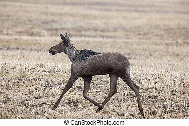 새스캐치원, 큰사슴