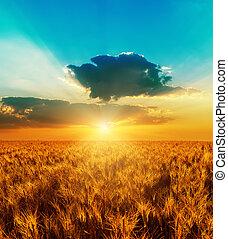 선, 일몰, 와, 극적인 하늘, 위의, 황금, 색, 들판, 와, harve