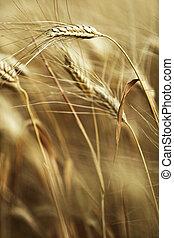 성장하는, 익은, 농장지, 보리, 손 가까이에 있는, 수확, 귀
