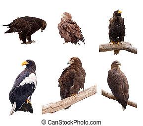 세트, 의, eagles., 고립된, 위의, 백색