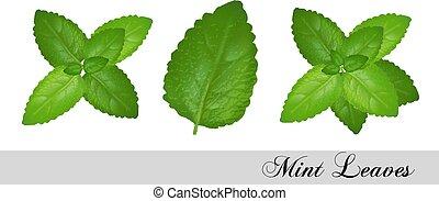 세트, leaves., 수집, 벡터, 신선한, 박하