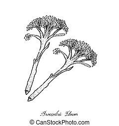 손, broccolini, 살갗이 벗어진, 배경, 그어진, 신선한, 백색