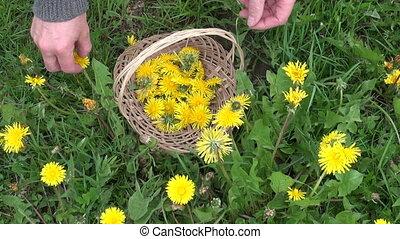 수확, 신선한, 봄, 민들레