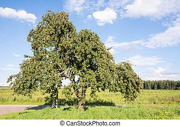 시골, 나무, 늙은, 애플