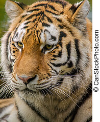 시베리아인 호랑이, 초상