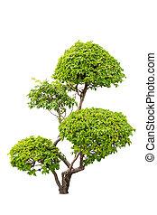 식물, 꾸밈이다, bougainvilleas, 위의, 고립된, 부시, 배경, 백색