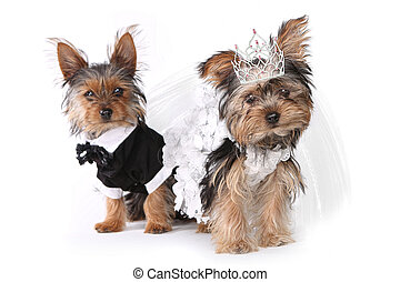 신부와 신랑, 요크셔 테리어, 강아지, 백색 위에서