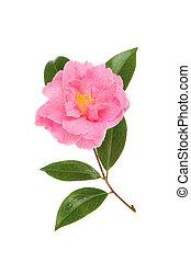 심홍색, 동백나무