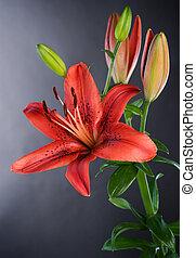 아름다운, 꽃, 위의, 검정, 백합, 빨강