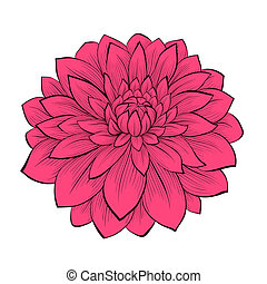 아름다운, 도화의, 꽃, 스타일, 고립된, 은 일렬로 세운다, 윤곽, 배경, 달리아, 그어진, 백색