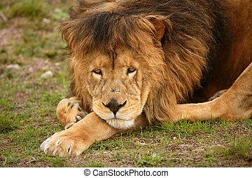 아름다운, 사자, 동물, 야생의, 초상, 남성