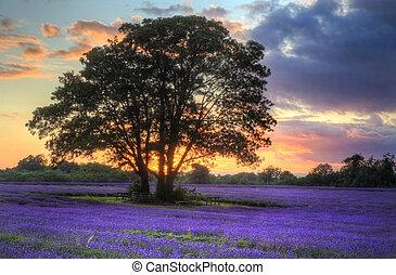 아름다운, 심상, 의, 기절시키는, 일몰, 와, 대기중의, 구름, 와..., 하늘, 위의, 떠는, 익은, 라벤더, 은 수비를 맡는다, 에서, 영국 시골, 조경술을 써서 녹화하다