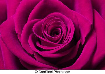 아름다운, 장미, 심홍색